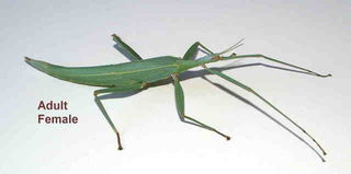 Children's Stick Insects Again in Stock