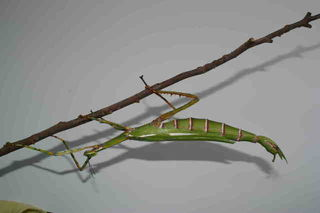 Goliath Stick Insects Again Available