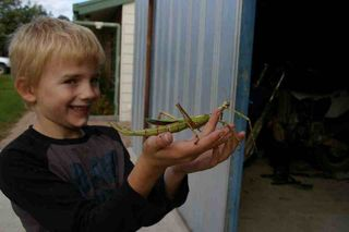 Goliath Stick Insects Now Available