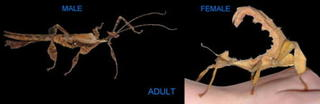 Spiny Leaf Stick Insect - Female & Male Juvenile Pair