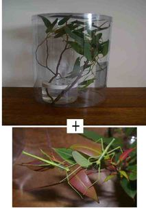 Start Up Kit with a pair of juvenile Strong Stick Insects