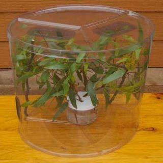 Enclosure Kit with 2 female  Juvenile  Spiny Leaf Stick Insects