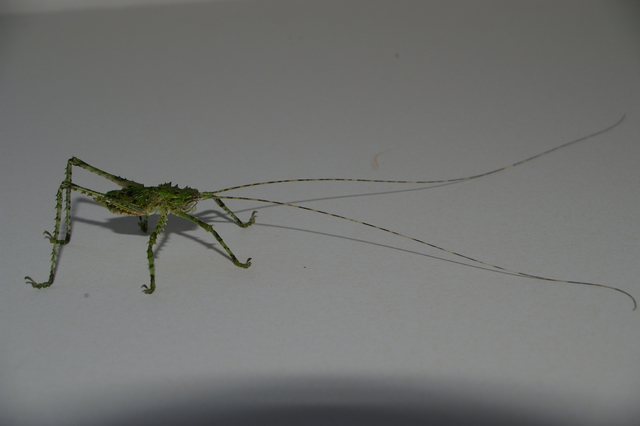Giant Forest Katydids now back in stock.