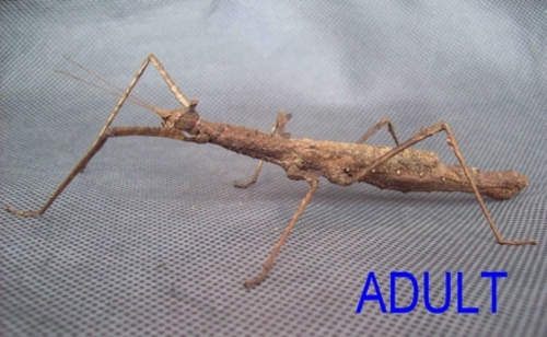 Crowned Stick Insect - Female Juvenile