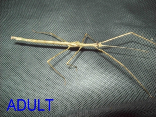 Crowned Stick Insect - Male Juvenile