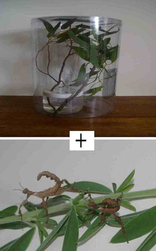 Start Up Kit with 2 female juvenile Spiny Leaf Stick Insects