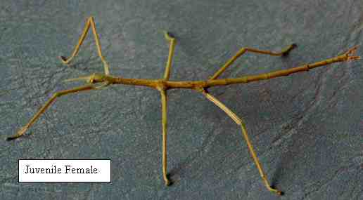 Titan Stick Insect - Female Juvenile