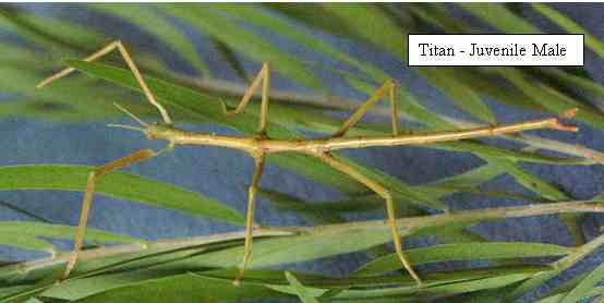 Titan Stick Insect - Male Juvenile