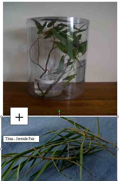 Start Up Kit with Pair Juvenile Titan Stick Insects