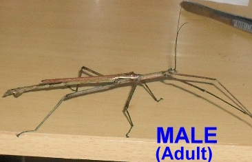 Strong Stick Insect Male Juvenile