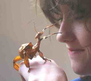 Stick Insect Pet Insects - Spiny Leaf Stick Insects Goliath Stick Insects