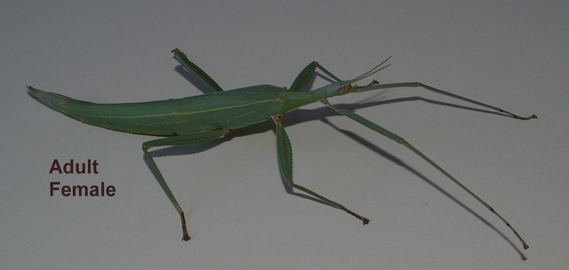 how to make a stick insect